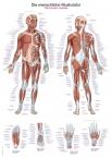 Lehrtafel Die menschliche Muskulatur, 70x100cm