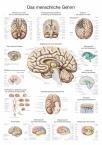 Lehrtafel Das menschliche Gehirn (deutsch), 70x100cm