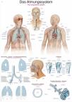 Lehrtafel Das Atmungssystem, 50 X 70 CM