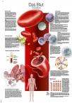 Lehrtafel Das Blut, 50x70cm