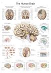 Lehrtafel Das menschliche Gehirn (englisch), 50x70cm
