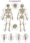 Lehrtafel Das menschliche Skelett, 50x70cm