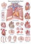 Lehrtafel Das menschliche Herz, 50x70cm