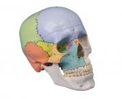 Didaktisches Schädel-Modell, 3-teilig