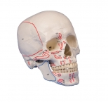 Schädelmodell, 3-teilig, mit Muskelmarkierungen