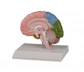 Gehirnhälfte, regional