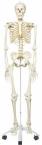 Skelett-Modell Stan auf 5-Fuss-Rollenstativ