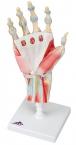Handskelett-Modell mit Bändern und Muskeln