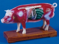 Akupunktur-Schwein-Modell 13cm