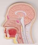 Medianschnitt des Kopfes (Reliefmodell)