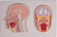 Frontal- und Medianschnitt des Kopfes (Reliefmodell)