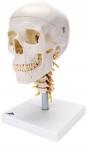 Schädelmodell auf Halswirbelsäule
