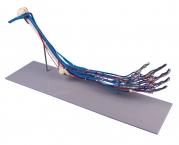Armskelett-Modell mit Gefässen