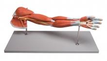 Armmuskulaturmodell, 7-teilig