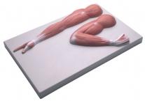 Armmuskulatur Modell